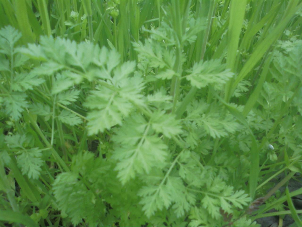 бузина трава фото
